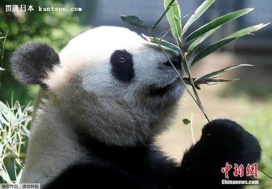 旅日大熊猫疑似怀孕 日本民众开心做各种准备等待小熊猫出生