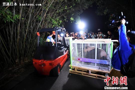 大熊猫转运至检疫馆。 安源 摄
