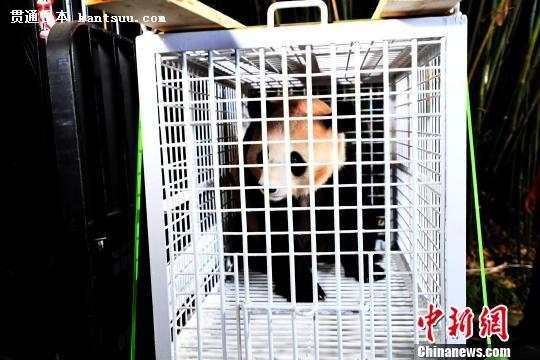 回到故乡的旅日大熊猫。 安源 摄