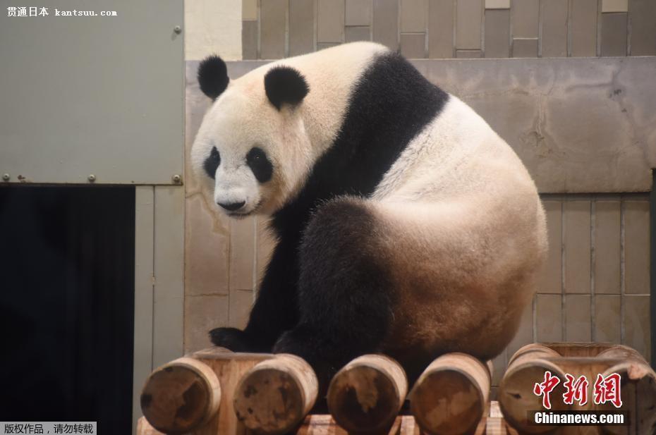 熊猫日本首次产子